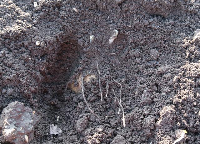 ジャガイモの萌芽を掘り返して確認