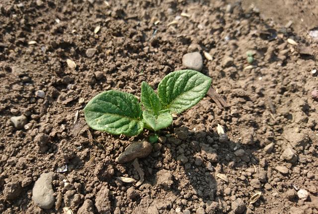 ジャガイモの萌芽