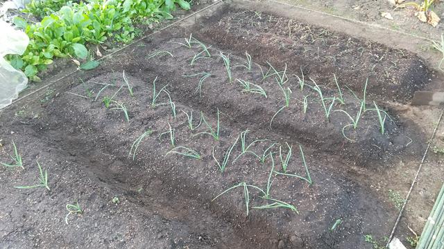 玉ねぎの植え付け