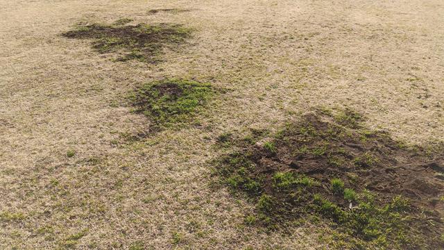 モグラの穴に芝生の新芽