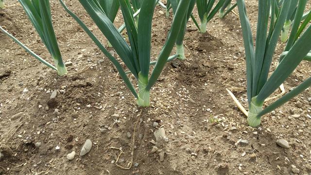 栽培中の玉ねぎ